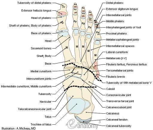 Foot Anatomy Bones Diagram
